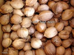 3 Lbs clean/organic VIRGINIA HICKORY NUTS squirrel food~bird
