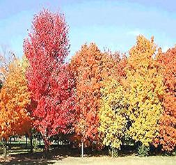 5 Packs x Sugar Maple Tree Seeds - Northern Sugar Maple - AC