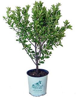 American Beauties Native Plants - Prunus maritima  Shrub, 2