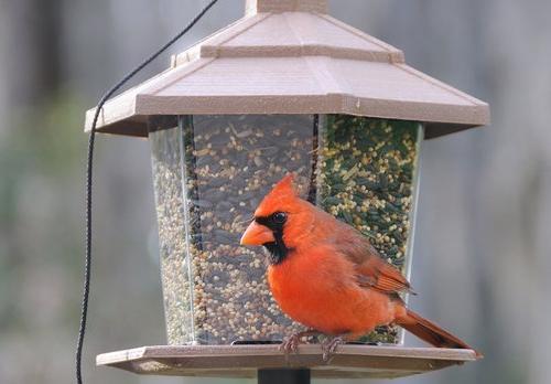 Wagner's 62032 Cardinal