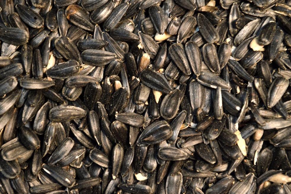black oil sunflower seeds wild song bird