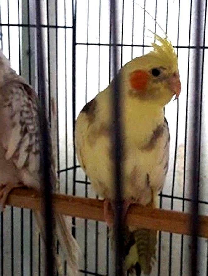Cockatiel or Food Treats 5Lbs Feed &