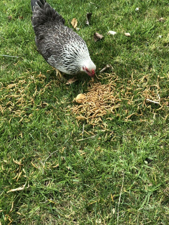 Dried Protein Non-GMO Bulk Chicken,Bird,Turtle,Fish,Duck
