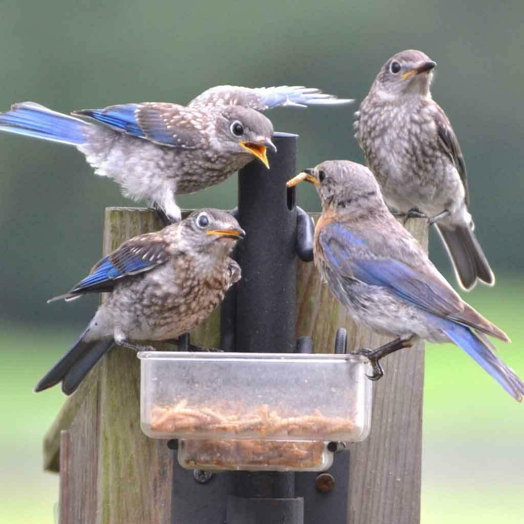 Wholesale Bulk Dried for Birds Food Blue Bird Treats