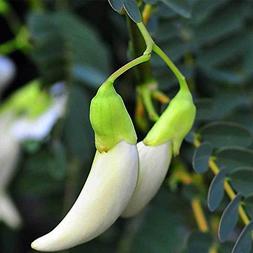 30PCS/Pack White Humming Bird Seeds White Vegetable Humming